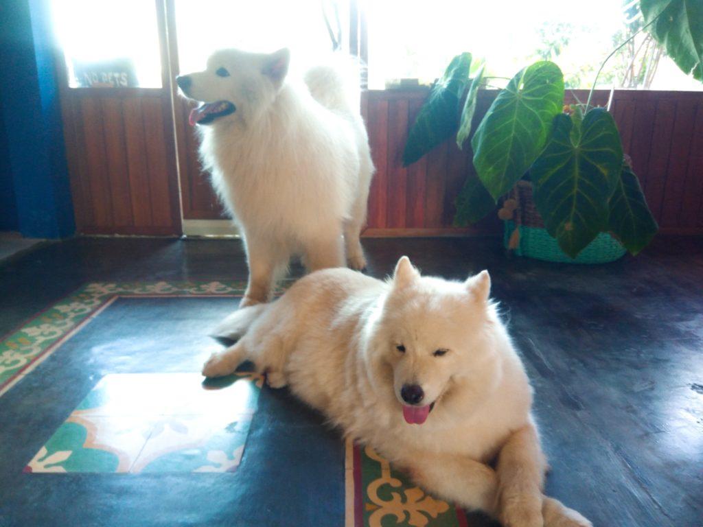 バリ島クロボカンのヨガシャラ&ベジタリアンレストラン、もふもふ犬!