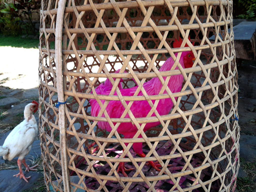 バリ島穴場の観光地バリ・アガの村トゥガナンのピンク鶏