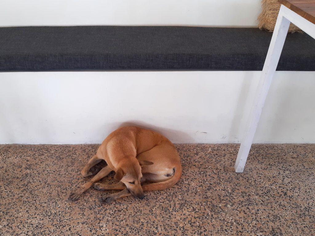 バリ島チャングーレストラン「The Piring Daun」の犬